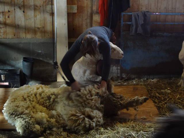 sheep12435_17138515_n